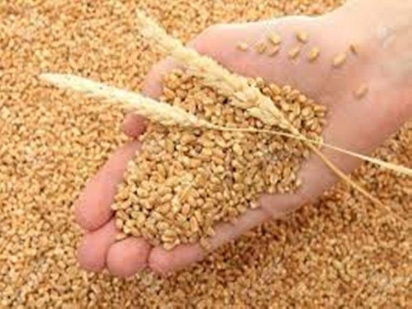 गेहूं की बंपर पैदावार: कोविड-19 के बावजूद ज्यादा हुआ गेहूं का उत्पादन, एजेंसियों ने इस वर्ष 20784 मीट्रिक टन अधिक की खरीदा 13